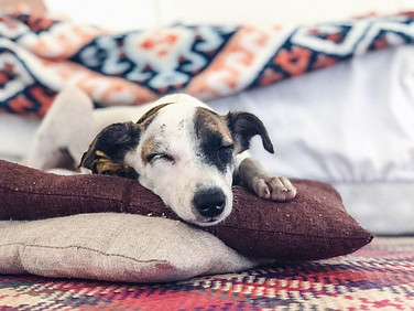 Dog sleeping on quilts and pillows